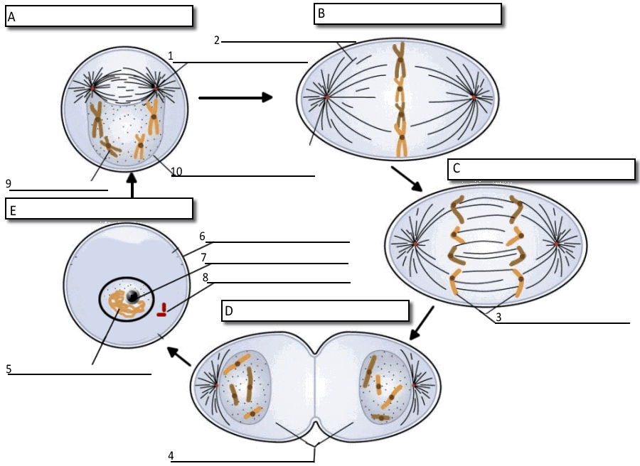 Cell Cycle Labeling Cell Cycle Mitosis Science Cells