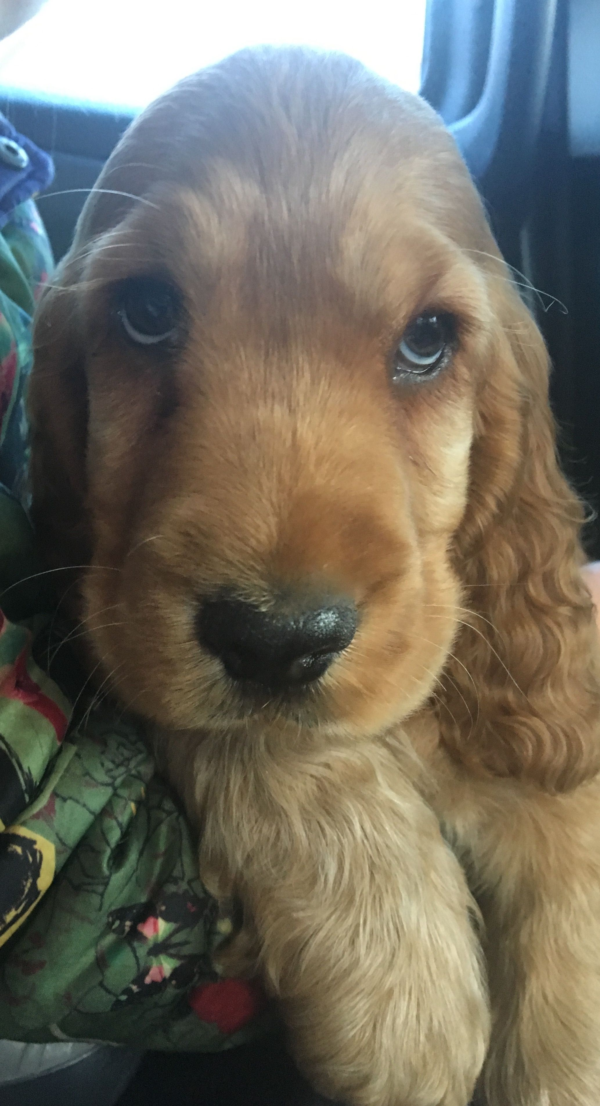 cocker spaniel eyes quot i has puppy dog eyes i need no other skills quot spaniels 7564