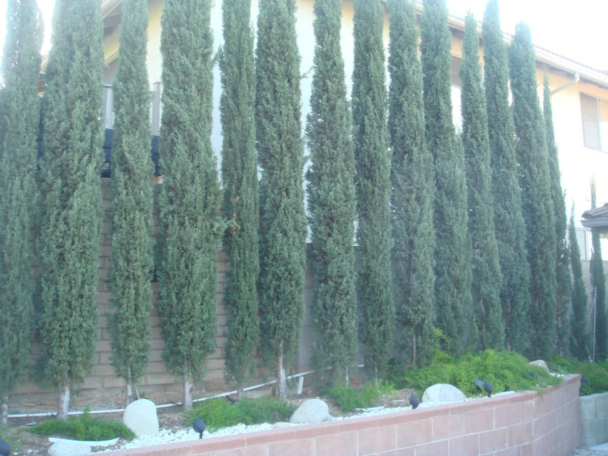 Italian Cypress Close Together Landscaping For Privacy