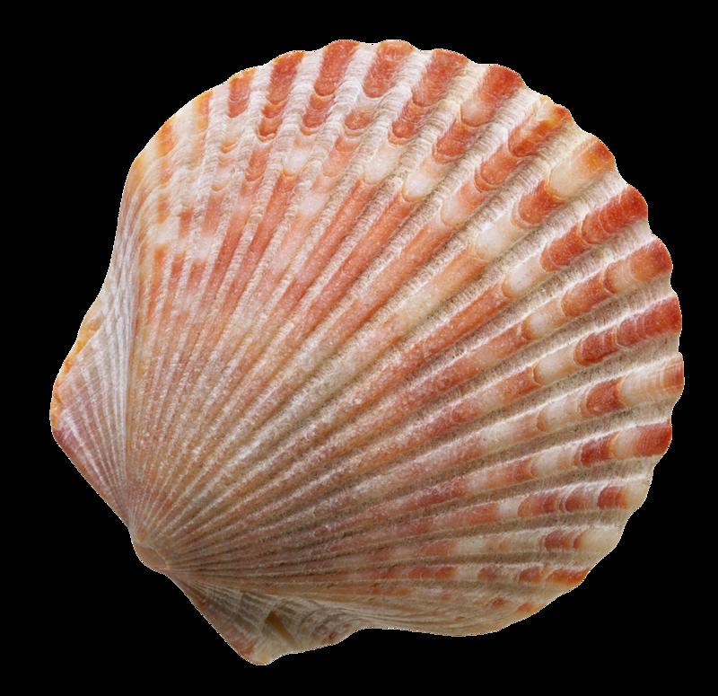 морские раковины рисунок фото каких