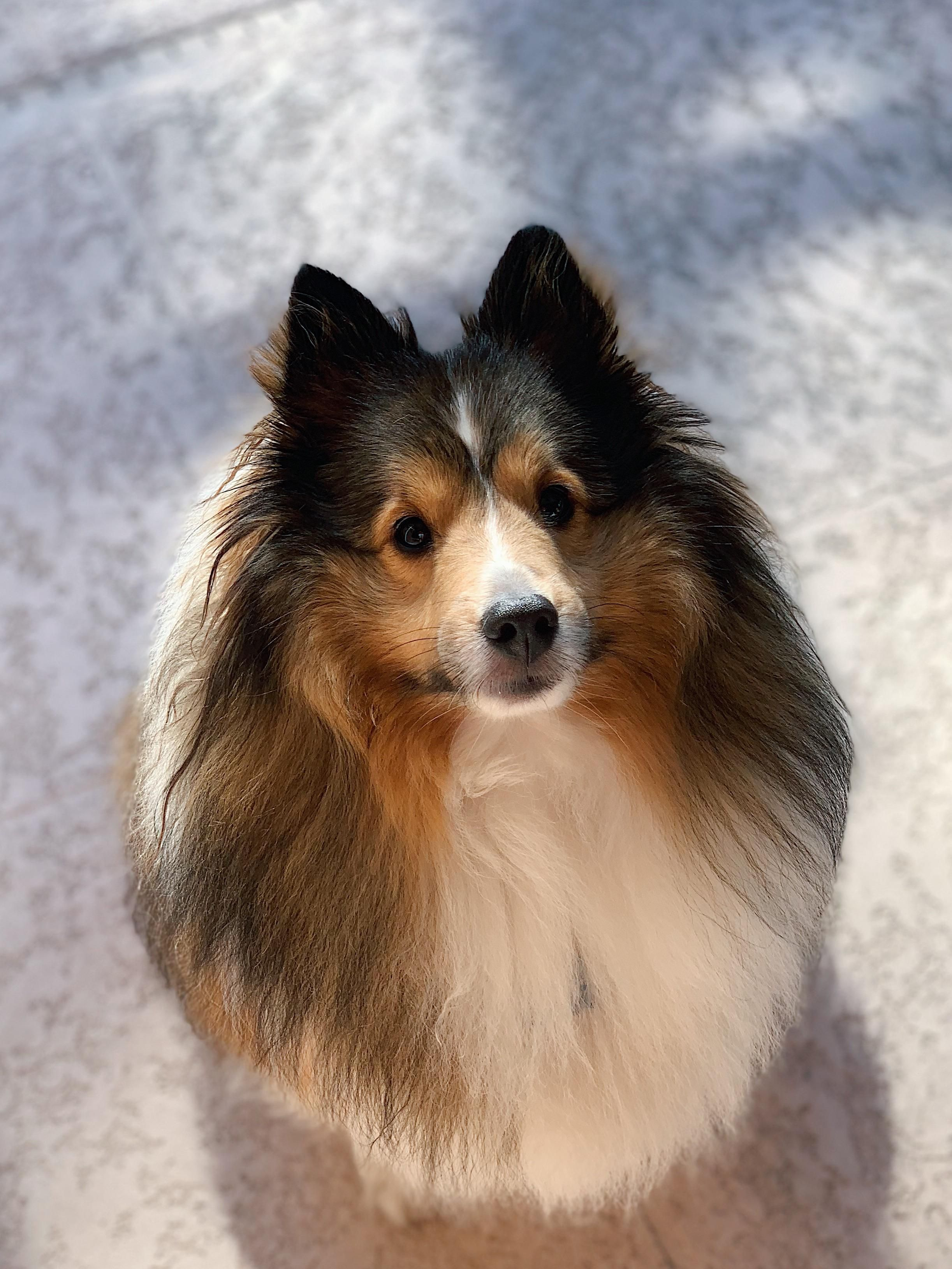 Show Me A Picture Of A Sheltie Dog