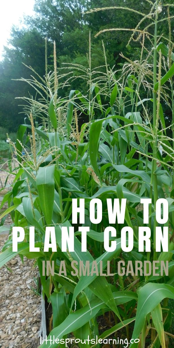 How To Plant Corn In A Small Garden In 2020 Corn Plant