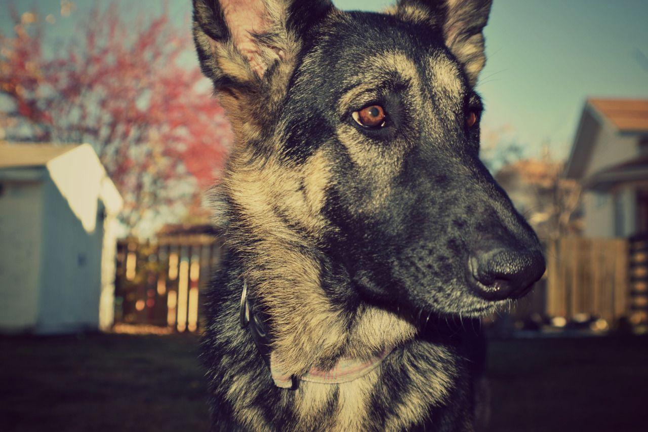 German Shepherd Pet Photography