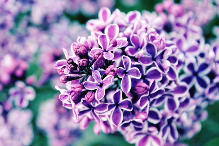 Lilac Meaning And Symbolism Purple Flower Names Types Of Purple Flowers Flower Definitions