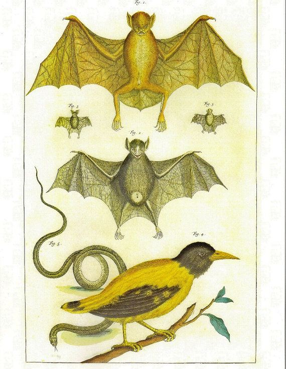 Bats, Oriole, and a Snake from the Albertus Seba Cabinet of Natural Curiousities, commissioned in 1731