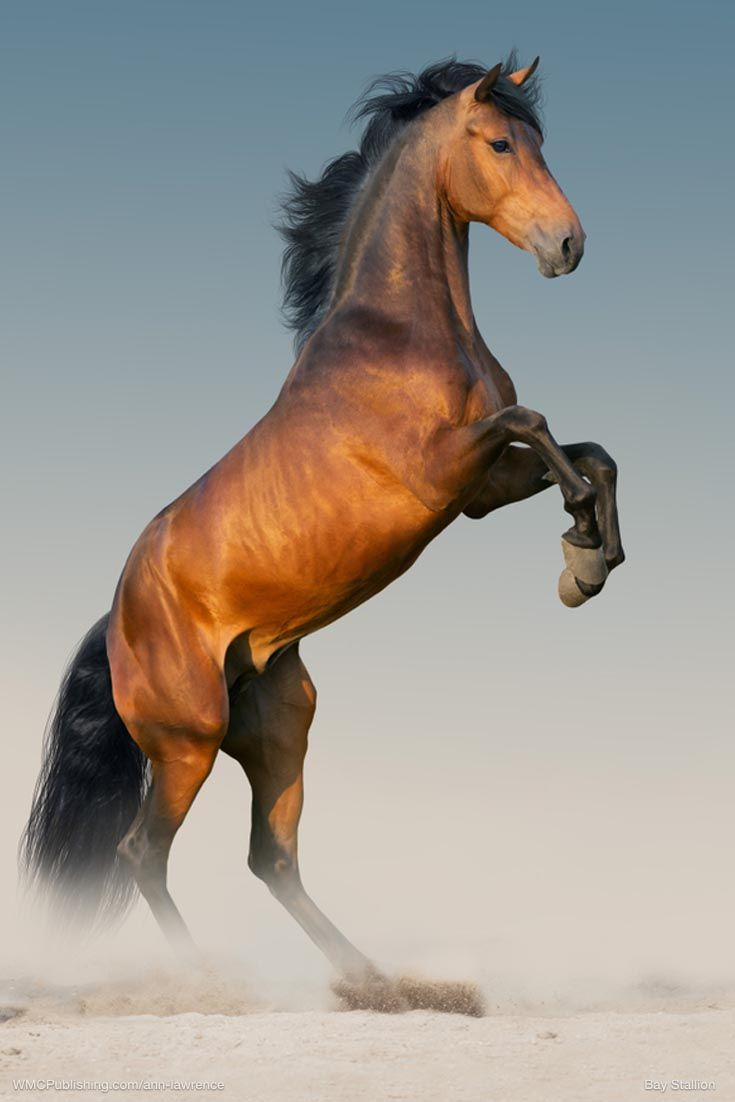 Image By Arwen Rivendell On Elves Horses Most Beautiful Horses Stallion Horses