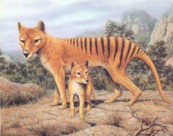 The Tasmanian Tiger was originally native to Australia and New ...