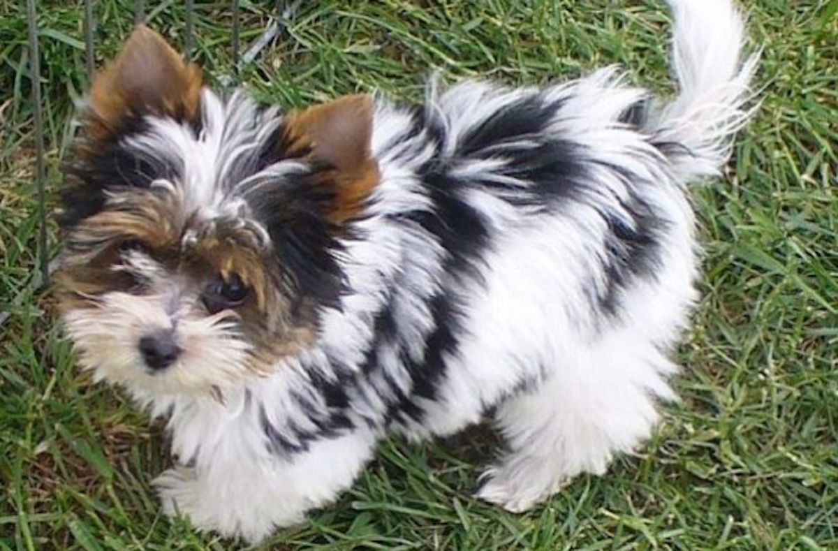 14 Unreal Yorkshire Terrier Cross Breeds You Have To See To Believe In 2020 Cute Dog Pictures Biewer Yorkie Dogs And Puppies