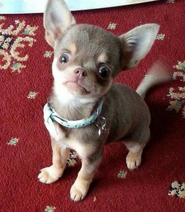 These Are My I Love You Eyes Baby Chihuahua Chihuahua