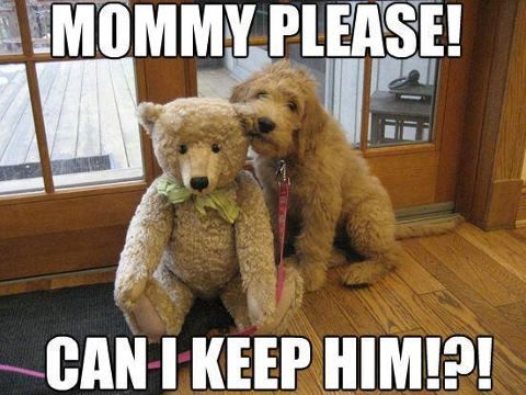 Image result for mommy please can i keep him labradoodle