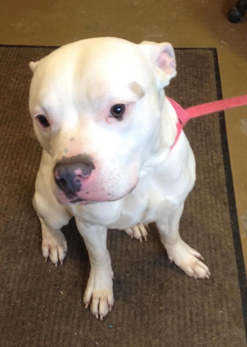 Adopt 1 Available 1 1 1 2 Yrs On Dog Pounds Pitbull