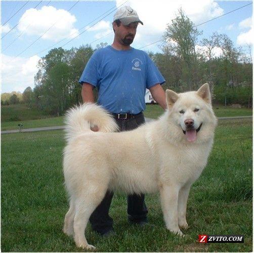 alaskan malamute puppies Alaskan Malamute Puppies
