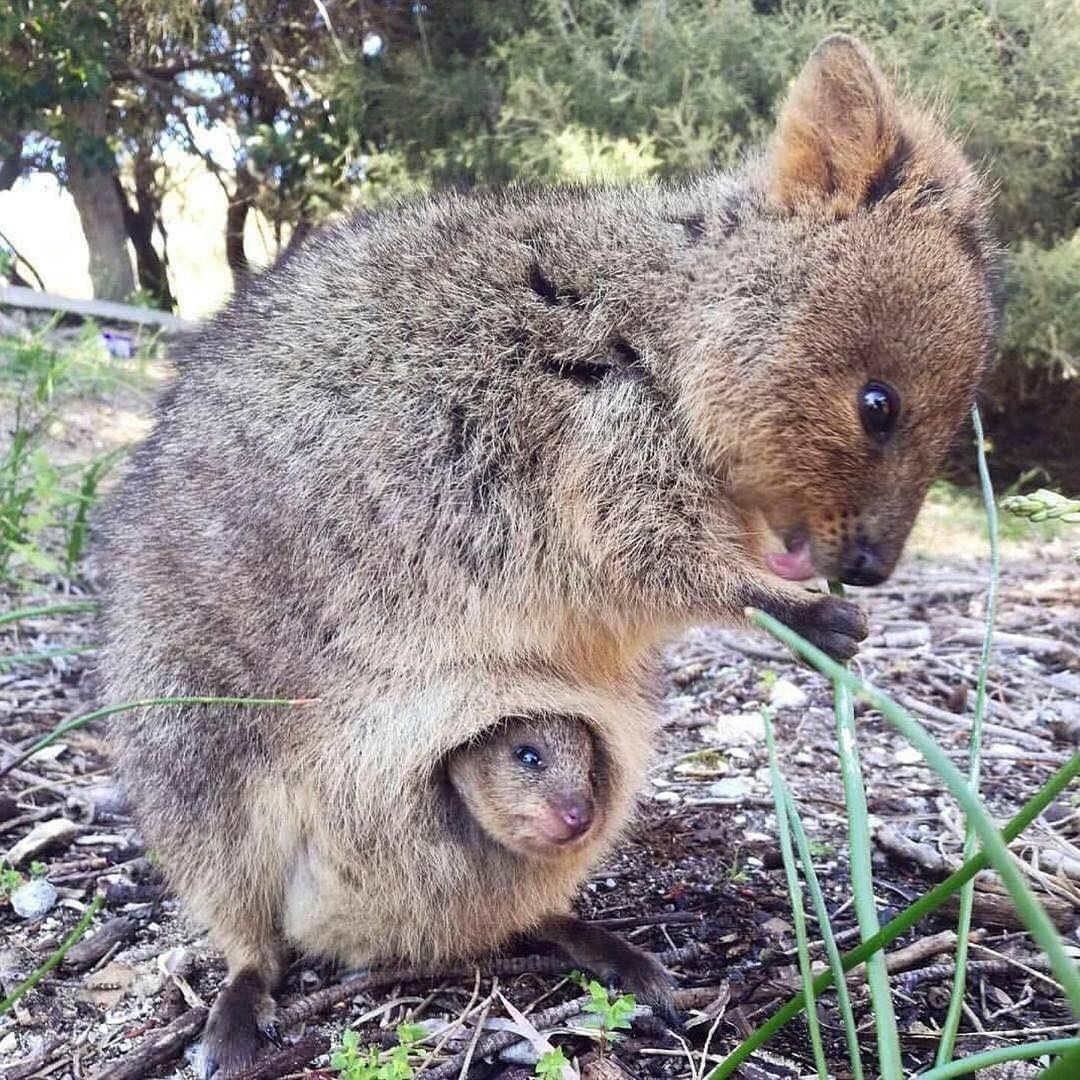 """awwwwcute """"Mother quokka and her baby (Source http"""