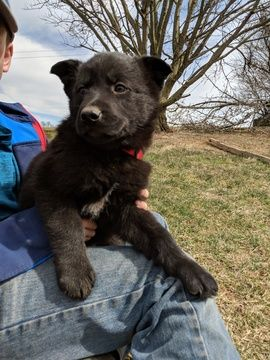 Litter Of 9 German Shepherd Dog Mix Puppies For Sale In Fleetwood