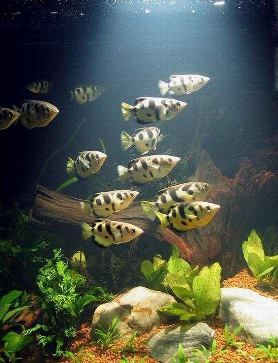 Archer Fish Tank   ปลาเส อพ นน ำ Archer Fish Blowpipe Fish Fish Freshwater Fish