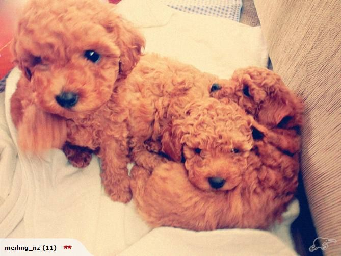 My Second Child Will Definitely Be An An Apricot Poodle Love The