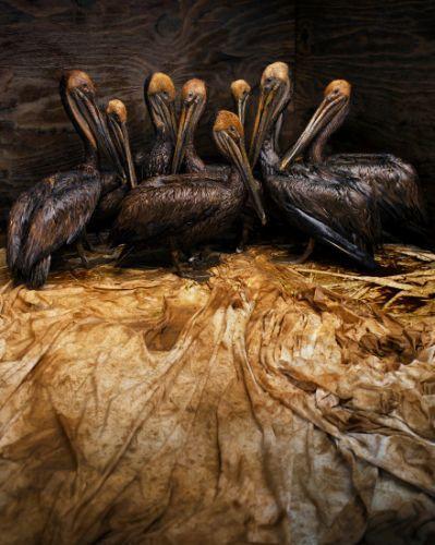 A imagem de oito pelicanos cobertos de petróleo foi a vencedora do prestigioso concurso internacional de fotografias de vida selvagem, Veolia Environnement Wildlife Photographer of the Year 2011. A fotografia do espanhol Daniel Beltrá foi tirada após o vazamento de petróleo no Golfo do México, em 2010