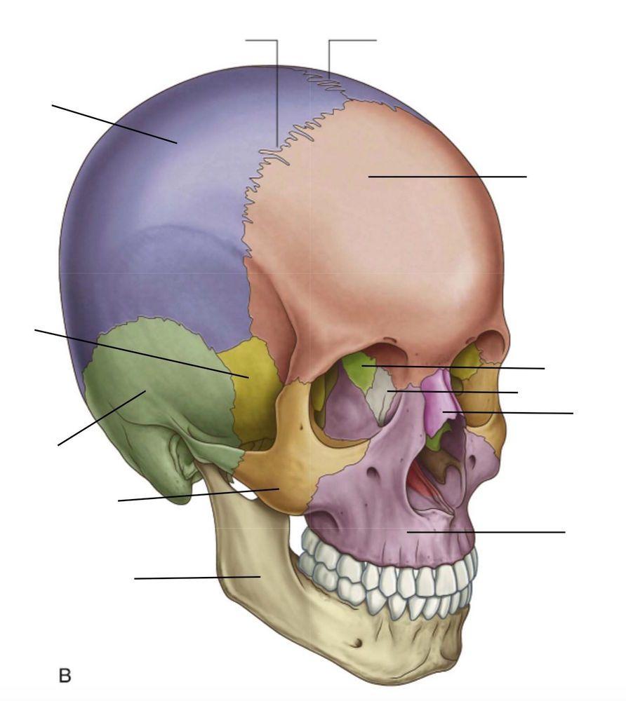 Human Anatomy Head Bones Human Anatomy Study Human Anatomy