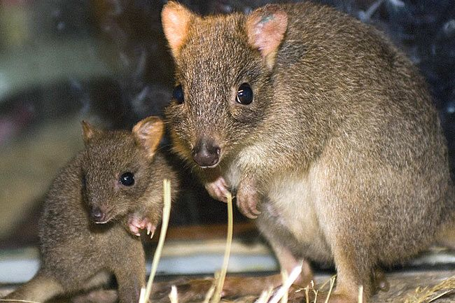 Bush Tailed Bettong Sw Australia Endangered Animals Endangered