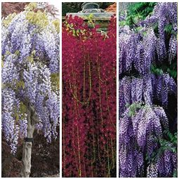 Iris Victoria Falls Wisteria Tree Wisteria Tree For Sale Plants