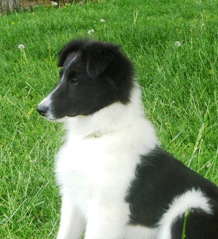 Black And White Collie Puppy Usa Collie Puppies Shetland