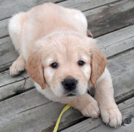 Meet My Future Puppy Running Partner Guard Dog So Excited I