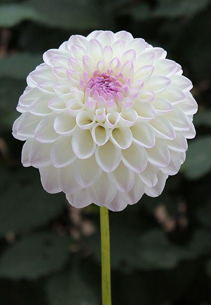 Gaylen Rose - White Dahlia with lavender blush center. Groeit graag in volle zon