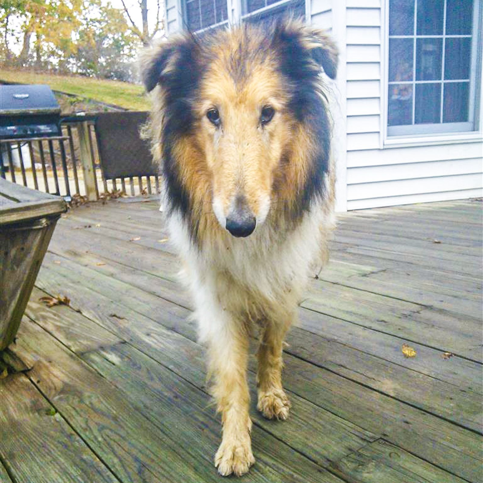 Found Dog Collie Rough East Sparta, OH, United States