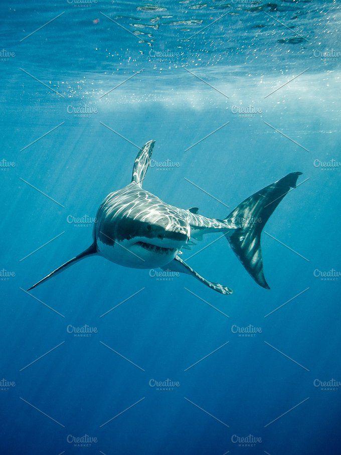 Pin de Karl Prien en Tiburones | Pinterest | Imágenes de tiburones ...