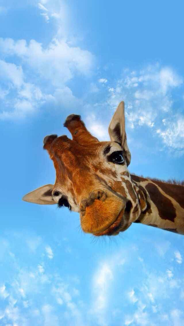 Giraffe Background for iPhone and Android