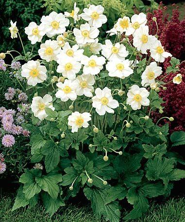 Herbst anemone honorine jobert anemone japonica hybride wei bl tig wuchsh he 1m home - Japanische zimmerpflanzen ...