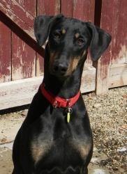 Adopt Athena On Doberman Pinscher Dog Dog Sounds Dogs Puppies