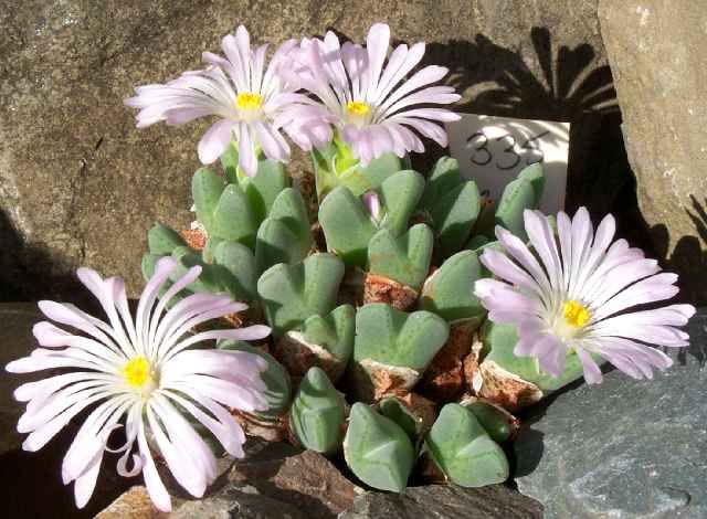 Argyroderma fissum exotic color ice plant rare cacti mesem cactus seed 50 SEEDS
