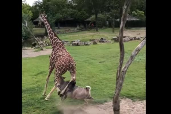 June 16 (UPI) -- An antelope shocked visitors to a Netherlands zoo and baffled keepers by tackling a giraffe in the enclosure they have shared for years. A visitor to the Rotterdam Zoo was filming Tuesday when the antelope ran at the giraffe and knocked it clean off its feet in an apparent attempt to gore the other animal with its horns. Onlookers can be heard screaming and calling out in shock as the antelope stabs at the giraffe. Zoo officials said the giraffe suffered only minor injuries…