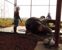 Transfer Sunder, a 14 year old severely abused elephant, to a sanctuary immediately