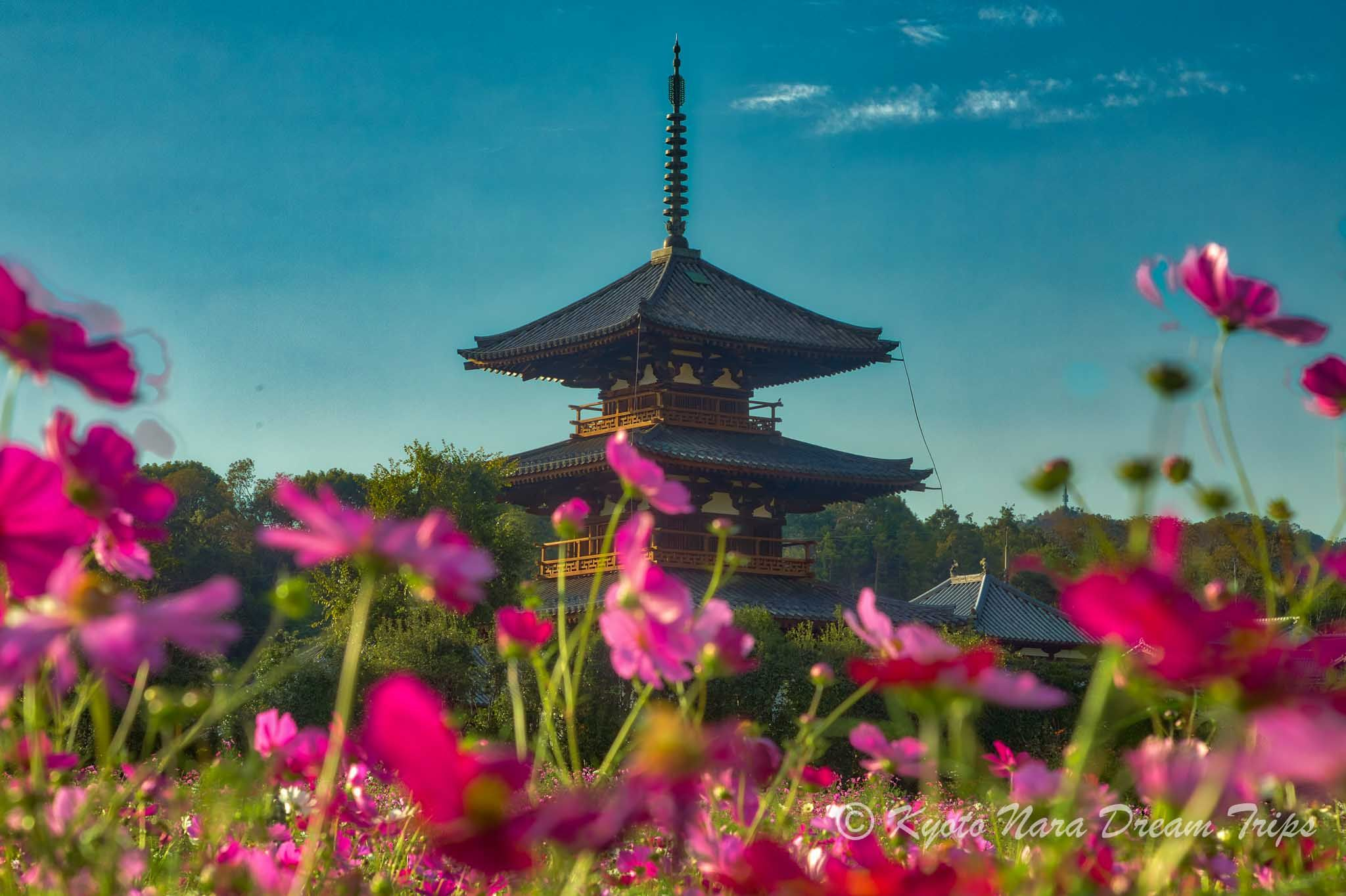 Random Pictures Of Nara Prefecture In Japan Cosmos Flowers Japan Cosmos
