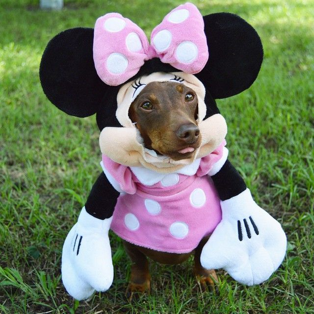 Do you think @crusoe_dachshund would want me to be his Minnie Mouse Friend?