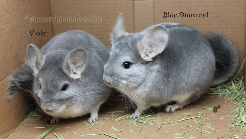 Chinchilla Colors Guide - Blue Diamond And Violet Chinchillas
