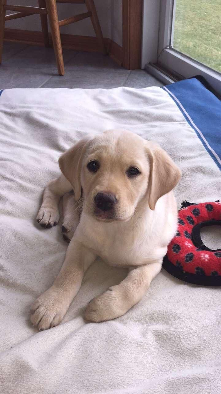 Meet My New Yellow Lab Puppy Piper Just Got Her 4 Days Ago At 2