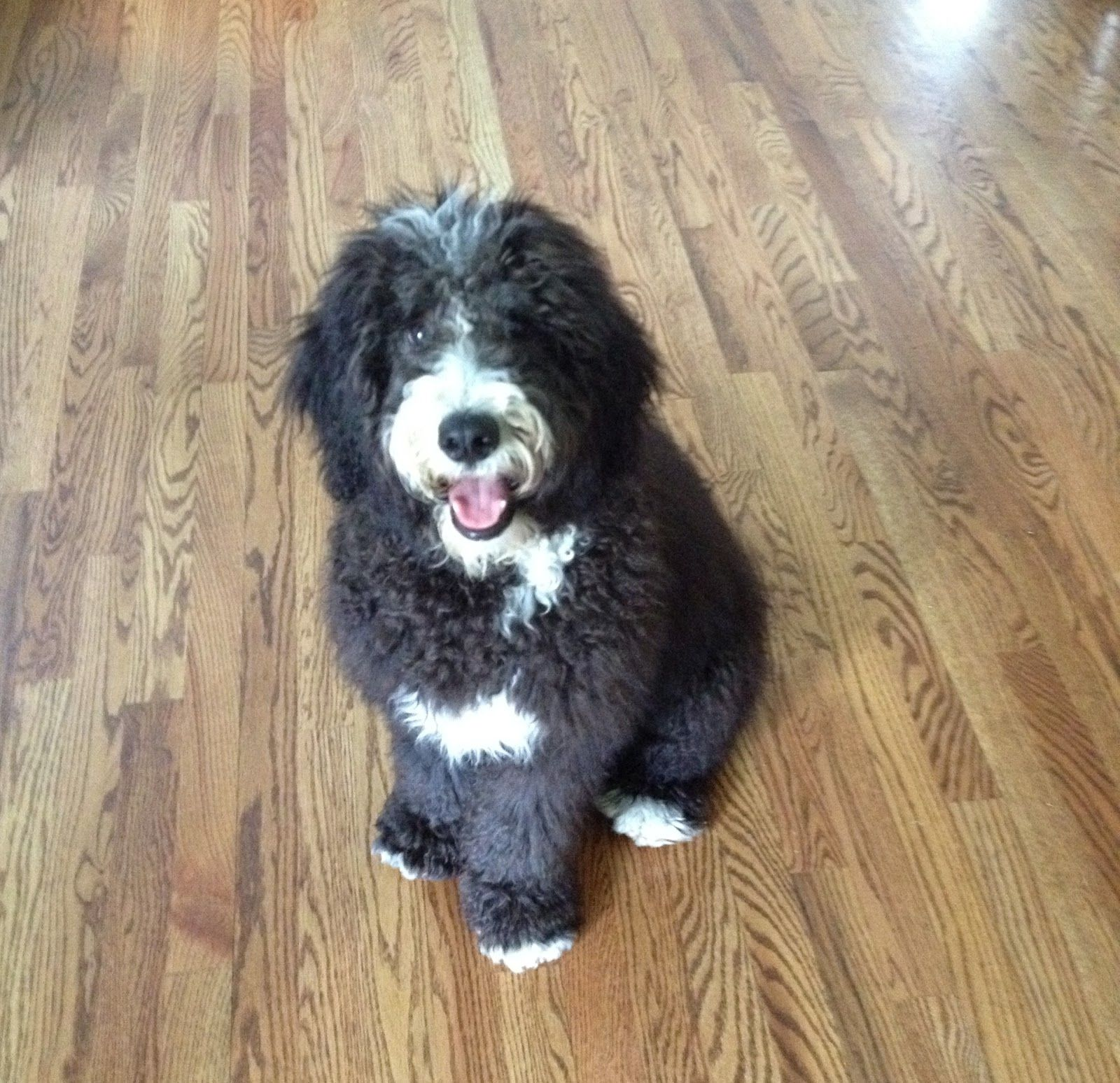 Bernedoodle Bernese Mountain Dog And Poodle Mix My Favorite Doodle Mix And The Only One I Would Want To Own