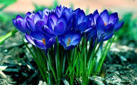 Pierwsze Wiosenne Niebieskie Kwiaty Szukaj W Google Crocus Flower Beautiful Flowers Pictures Beautiful Flowers