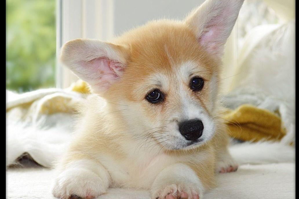 Wind Dial Farm Has Pembroke Welsh Corgi Puppies For Sale In Oswego