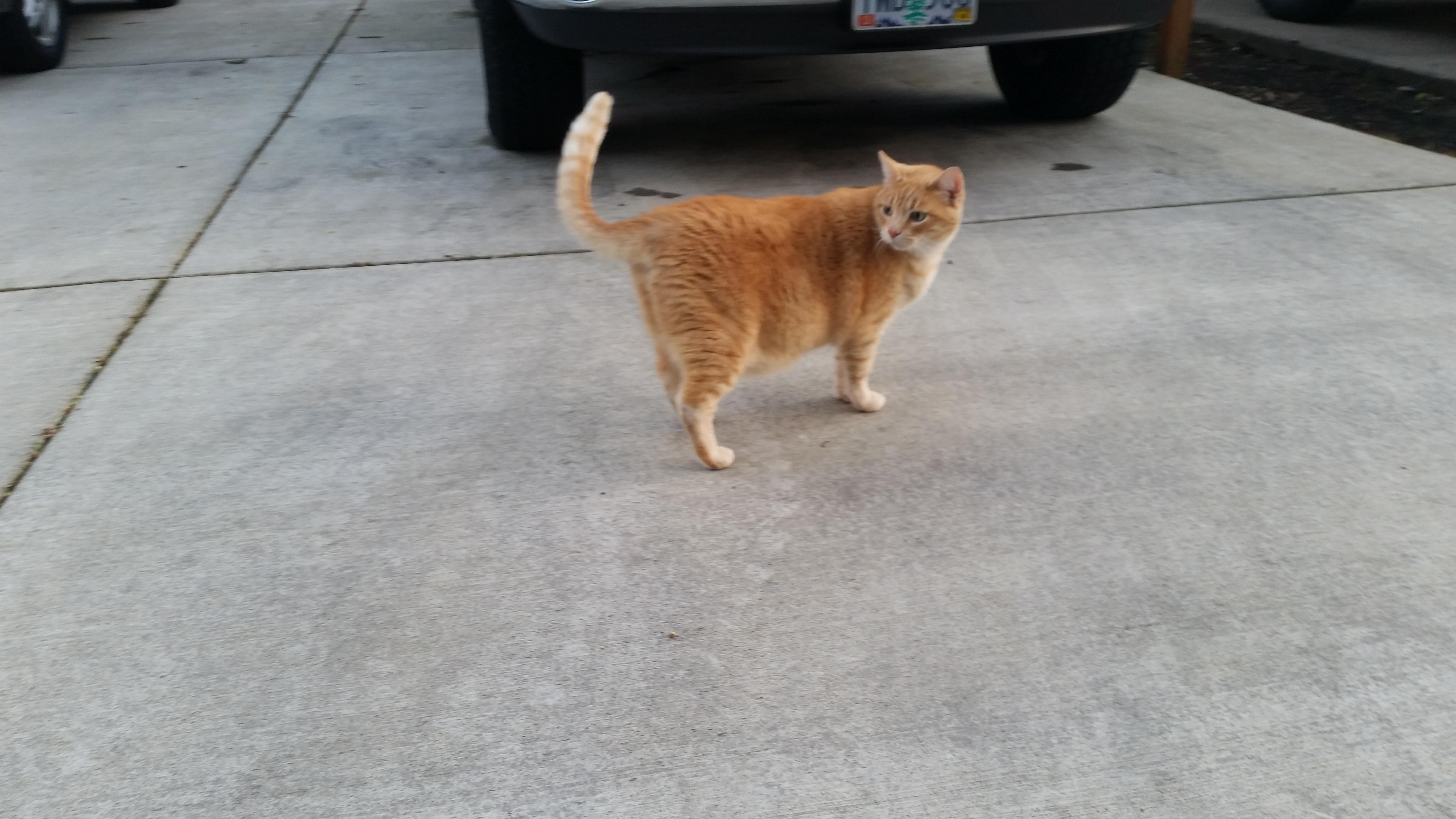 My neighbor's cat is orange weighs 17 pounds and is named Ivanewski. I am obsessed with him.
