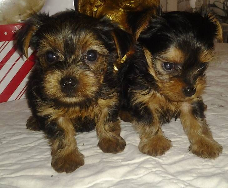 Teacup Yorkie Yorkshire Terrier Pupppy For Sale In Dundee Teacup