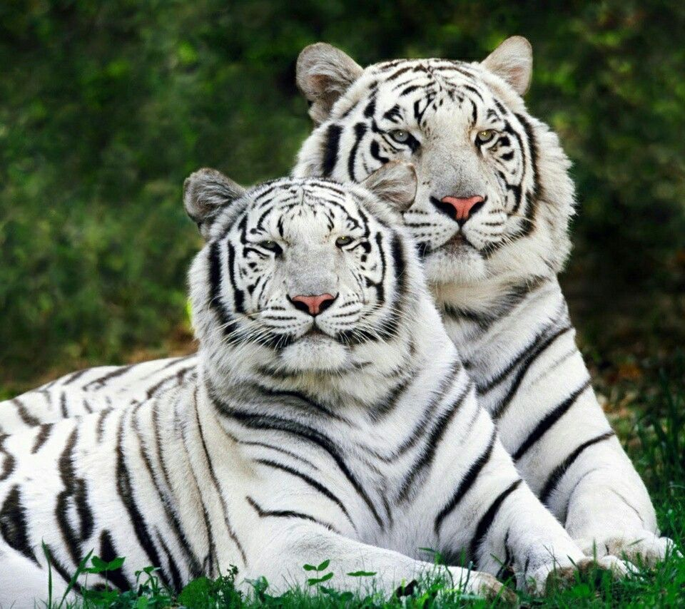 tigers image by Joan Blevins Tiger pictures, Wild animal