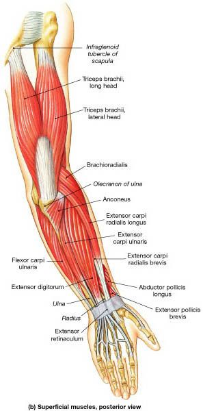 Muscle Identification | Anatomy & Physiology/Kinesiology | Pinterest ...