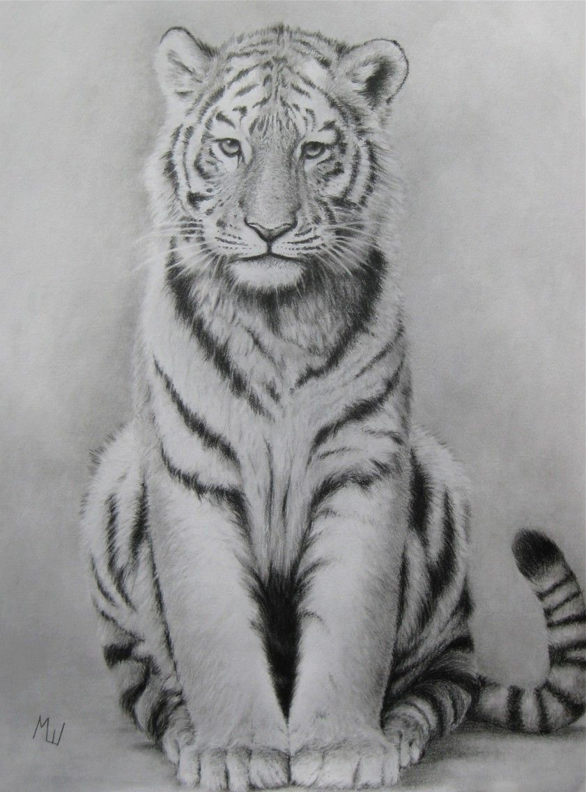 Pencil drawing of a tiger by miroslav sunjkic tiger pencil drawing realistic animal artwork nature wildlife cats sketch pencilmaestro