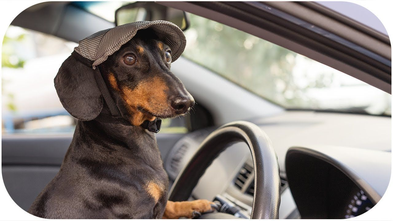 Dachshund Grand Theft Auto Youtub Dachshund Grand Theft Auto