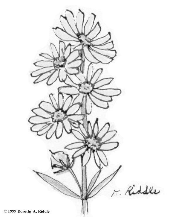 Texas Wildflowers Coloring Book Page Wildflower Drawing