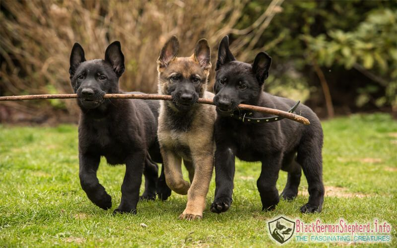 Solid Black German Shepherd Dog In 2020 German Shepherd Colors